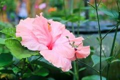 Ένα ρόδινο λουλούδι Στοκ εικόνες με δικαίωμα ελεύθερης χρήσης