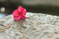 Ένα ρόδινο λουλούδι Plumeria σε ένα φυσικό υπόβαθρο Στοκ εικόνα με δικαίωμα ελεύθερης χρήσης