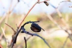 Ένα σάπιο αμύγδαλο που κρεμά από τον κλάδο αμυγδαλιών στοκ φωτογραφίες