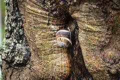 Ένα σαλιγκάρι σταφυλιών στο φλοιό ενός παλαιού δέντρου στοκ φωτογραφία