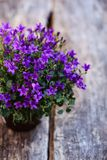 Ένα σιβηρικό bellflower στο βάζο στοκ φωτογραφίες