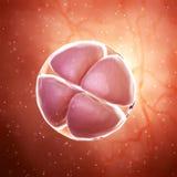 ένα σκηνικό έμβρυο 4 κυττάρων διανυσματική απεικόνιση