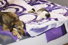 ένα σκυλί και μια γάτα κοιμούνται στο κρεβάτι από κοινού στοκ φωτογραφίες
