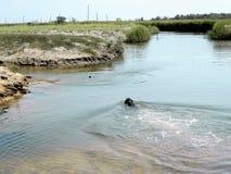 Ένα σκυλί κυνηγιού κολυμπά το κράτημα ενός αντικειμένου στα δόντια του για το aportirovka Η διαδικασία στοκ φωτογραφία με δικαίωμα ελεύθερης χρήσης