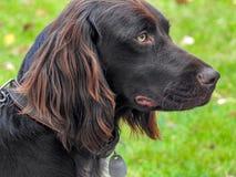 Ένα σκυλί κυνηγιού με ένα περιλαίμιο στοκ φωτογραφία με δικαίωμα ελεύθερης χρήσης