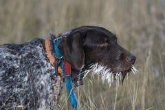Ένα σκυλί κυνηγιού με mouthful Porcupine των καλαμιών στοκ φωτογραφία με δικαίωμα ελεύθερης χρήσης