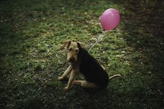 Ένα σκυλί με ένα ρόδινο μπαλόνι Στοκ εικόνα με δικαίωμα ελεύθερης χρήσης