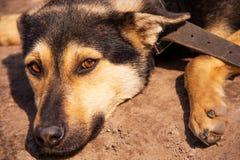 Ένα σκυλί οδών λυπημένος-κοιτάγματος με τα διπλωμένα αυτιά εξετάζει τη κάμερα στοκ φωτογραφία με δικαίωμα ελεύθερης χρήσης