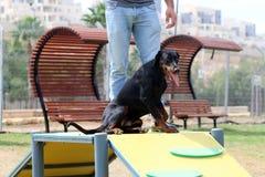 Ένα σκυλί παίζει στις εγκαταστάσεις στο πάρκο σκυλιών στοκ εικόνα με δικαίωμα ελεύθερης χρήσης