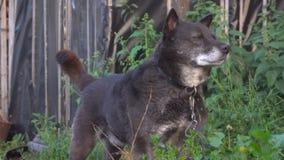 Ένα σκυλί ρουθουνίζει ποιο ` s στο περιβάλλον φιλμ μικρού μήκους