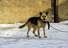 Ένα σκυλί σε μια αλυσίδα Στοκ φωτογραφίες με δικαίωμα ελεύθερης χρήσης