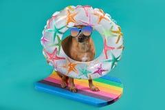 Ένα σκυλί στις στάσεις γυαλιών ήλιων σε έναν κολυμπώντας πίνακα, πίσω από το κεφάλι του είναι ένας διογκώσιμος κύκλος, η έννοια τ στοκ εικόνες