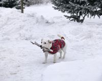 ένα σκυλί φέρνει ένα ραβδί στοκ φωτογραφίες με δικαίωμα ελεύθερης χρήσης