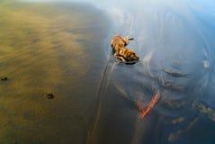 Ένα σκυλί brindle που δροσίζει κάτω Στοκ Φωτογραφία