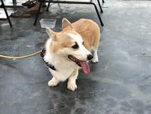 Ένα σκυλί Corgi Στοκ Φωτογραφία