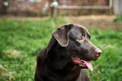 Ένα σκυλί, ένα Λαμπραντόρ στο κατώφλι, ζώα, κατοικίδια ζώα Στοκ Φωτογραφίες
