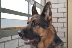 Ένα σκυλί αστυνομίας Στοκ Φωτογραφίες