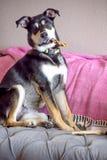 Ένα σκυλί και το λαστιχωτό κόκκαλό του Στοκ Εικόνα