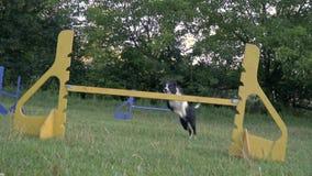 Ένα σκυλί κόλλεϊ συνόρων happye πηδά πέρα από τα εμπόδια, σε αργή κίνηση πυροβολισμός απόθεμα βίντεο