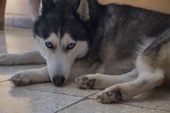 Ένα σκυλί με τα μπλε μάτια Στοκ Εικόνες