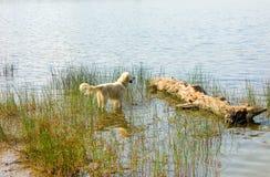 Ένα σκυλί που απολαμβάνει το νερό algonquin στο πάρκο στοκ εικόνα με δικαίωμα ελεύθερης χρήσης