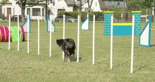 Ένα σκυλί που διασχίζει πάνω από δέκα ραβδιά σε ένα σκυλί παρουσιάζει 4K οδύσσεια FS700 7Q απόθεμα βίντεο