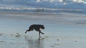 Ένα σκυλί που χαράζει μια σφαίρα στην παραλία σε σε αργή κίνηση απόθεμα βίντεο