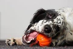 Ένα σκυλί ροκανίζει το παιχνίδι Στοκ φωτογραφία με δικαίωμα ελεύθερης χρήσης