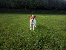 Ένα σκυλί στον τομέα στοκ φωτογραφία με δικαίωμα ελεύθερης χρήσης