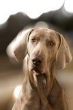 Ένα σκυλί στο πορτρέτο Στοκ φωτογραφία με δικαίωμα ελεύθερης χρήσης
