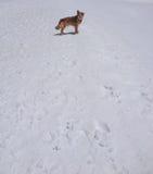Ένα σκυλί στο χιόνι που ξανακοιτάζει Στοκ Εικόνα