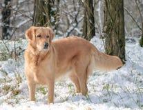 Ένα σκυλί στο χιόνι Στοκ εικόνα με δικαίωμα ελεύθερης χρήσης