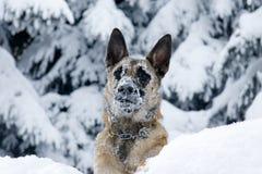 Ένα σκυλί στο χιόνι Στοκ εικόνες με δικαίωμα ελεύθερης χρήσης