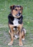 Ένα σκυλί Huntaway που χρησιμοποιείται για τα πρόβατα και τις αγελάδες εργασίας. Στοκ Εικόνα