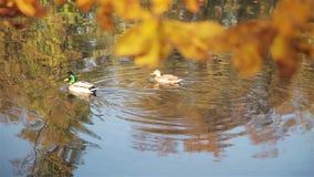 Ένα σμήνος των αγριοχήνων είναι στον ποταμό απόθεμα βίντεο
