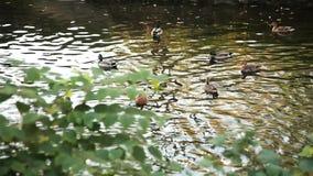 Ένα σμήνος των αγριοχήνων είναι στον ποταμό φιλμ μικρού μήκους