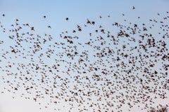 Ένα σμήνος των πουλιών Στοκ Φωτογραφίες