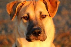 Ένα σοβαρό σκυλί κοιτάγματος στο ηλιοβασίλεμα Στοκ Εικόνες