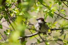 Ένα σπουργίτι κάθεται σε έναν κλάδο δέντρων μολύβι σχεδίων κλάδων πουλιών πράσινη άδεια Στοκ φωτογραφία με δικαίωμα ελεύθερης χρήσης
