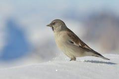 Ένα σπουργίτι στο άσπρο υπόβαθρο βουνών χειμώνα χιονιού Στοκ φωτογραφία με δικαίωμα ελεύθερης χρήσης
