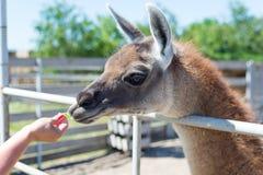 Ένα συμπαθητικό ζώο προβατοκαμήλου τρώει από τους επισκέπτες από τα χέρια των τροφίμων στο ζωολογικό κήπο Στοκ Φωτογραφία