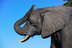 Ένα σχεδιάγραμμα ενός κεφαλιού ελεφάντων στοκ εικόνες