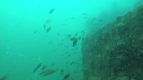 Ένα σχολείο των ψαριών σε έναν ωκεανό απόθεμα βίντεο