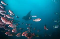 Ένα σχολείο των ημισεληνοειδών ψαριών ματιών ουρών μεγάλων με μια ακτίνα manta Στοκ εικόνες με δικαίωμα ελεύθερης χρήσης