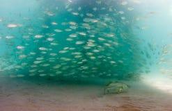 Ένα σχολείο των ψαριών Scad κάτω από μια αποβάθρα Στοκ εικόνες με δικαίωμα ελεύθερης χρήσης
