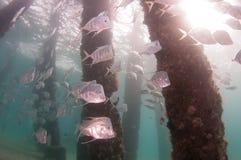 Ένα σχολείο των Lookdown ψαριών κάτω από μια αποβάθρα Στοκ εικόνα με δικαίωμα ελεύθερης χρήσης