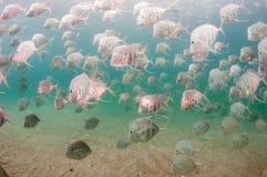 Ένα σχολείο των Lookdown ψαριών κάτω από μια αποβάθρα Στοκ Φωτογραφία