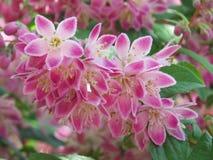 Ένα σύννεφο των ρόδινων λουλουδιών Ribus Στοκ Εικόνες