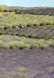 Ένα σύνολο κήπων ` lavender ` που τακτοποιείται από τη Barbara και το Αντρέι Olender σε Ostrà ³ W 40 χλμ από την Κρακοβία Η μυρωδ στοκ εικόνες με δικαίωμα ελεύθερης χρήσης