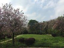 Ένα σύνολο πάρκων ρόδινου Bauhinia στην πόλη Liuzhou, Κίνα Στοκ εικόνα με δικαίωμα ελεύθερης χρήσης